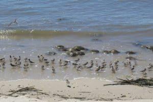 Delaware Bay Shorebird Stewards Needed