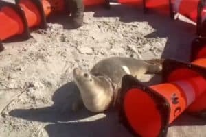 Beached Seal Saved